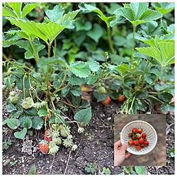 家庭菜園/いちご/玄関/入り口のインテリア実例 - 2020-05-21 20:31:28