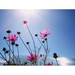 ベッド周り/庭/秋桜/コスモス/秋の庭のインテリア実例 - 2016-10-26 17:58:46