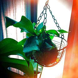 壁/天井/植物/コウモリラン/水苔のインテリア実例 - 2013-09-02 09:20:28