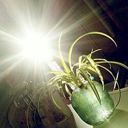 キッチン/観葉植物/オリヅルラン/西日を利用/水挿し...などのインテリア実例 - 2018-03-13 17:12:02