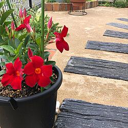 サンパラソル/花のある暮らし/植物のある暮らし/お庭改造中♪/固まる土を使って...などのインテリア実例 - 2021-06-05 20:31:33