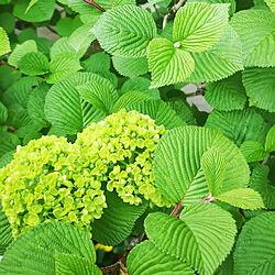 部屋全体/植物のある暮らし/オオデマリ/庭/季節の花...などのインテリア実例 - 2021-04-10 08:21:12
