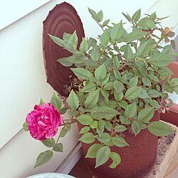 玄関/入り口/植物/錆び缶/薔薇のインテリア実例 - 2013-05-12 16:44:49