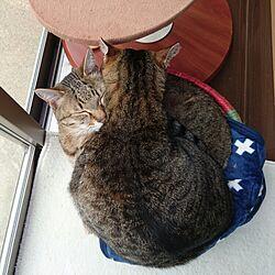 部屋全体/猫ルーム/猫のいる暮らし/猫/お昼寝...などのインテリア実例 - 2017-04-06 12:43:05