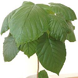 観葉植物/ウンベラータのインテリア実例 - 2012-11-11 16:24:42