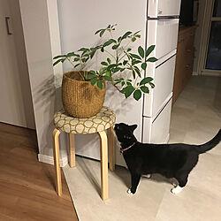 シェフレラ/猫のいる風景/ねこと暮らす。/多頭飼いの家/ミナペルホネンのインテリア実例 - 2019-03-22 06:49:08