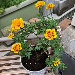 お隣さんのおかげ/お花を育てるのは苦手/いつもありがとうございます♡/マリーゴールド/こどものいる暮らし...などのインテリア実例 - 2021-09-22 09:20:49
