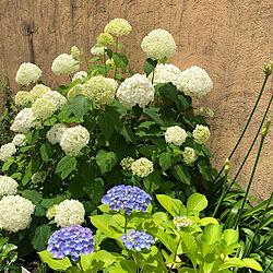 庭/紫陽花/アナベル/癒しの空間/白い花...などのインテリア実例 - 2021-06-12 11:20:13