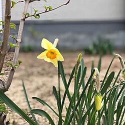 お庭改造中♪/水仙/マイガーデン/ガーデニング初心者/植物のある暮らし...などのインテリア実例 - 2021-04-09 06:33:48
