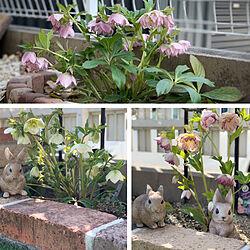 家族で作る庭/花が好き/季節を感じる暮らし/ウサギ雑貨/クリスマスローズ...などのインテリア実例 - 2021-03-27 14:03:38