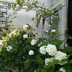 玄関/入り口/White garden/ホワイトガーデン/ガーデニング/ホワイトガーデンに憧れて!...などのインテリア実例 - 2015-05-02 07:44:26