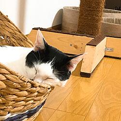 キャットタワーDIY/ネコ姉弟/ネコが好き/ネコと暮らす/ネコのいる風景...などのインテリア実例 - 2020-08-19 08:45:34