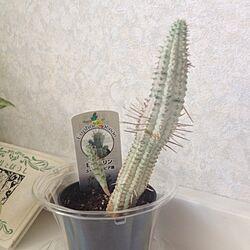 多肉植物/白樺キリンのインテリア実例 - 2014-07-27 21:22:30