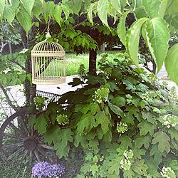 カシワバアジサイ/junk garden */自分好みに♡/リラックス時間/ガーデニング...などのインテリア実例 - 2021-05-18 17:50:20
