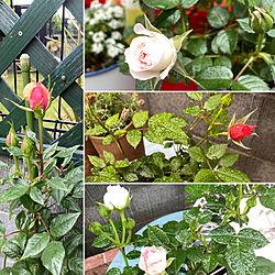 ミニ薔薇が咲いた〜✨✨/お花のある暮らし/良いね、コメント有難う^_^/ガーデン雑貨が好き/マンション庭付き...などのインテリア実例 - 2021-05-13 13:29:19