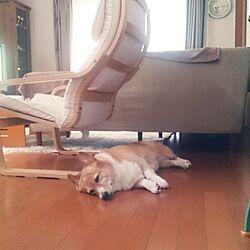 リビング/コーギー/IKEA/ペットのインテリア実例 - 2014-06-07 08:35:38