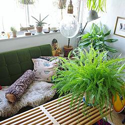 タマシダ/ディスプレイ/植物/グリーンディスプレイ/グリーンインテリア...などのインテリア実例 - 2019-11-01 19:24:46