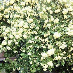 玄関/入り口/モッコウバラ黄色/モッコウバラモリモリ/お花を飾る/RC の出会いに感謝!...などのインテリア実例 - 2019-04-28 20:54:04