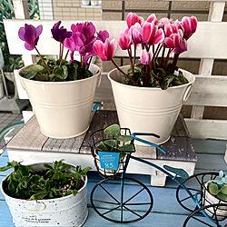 ベビーサローズ頑張れ/シクラメン鉢植え/気持ち良い日差しと風が入ってきます!/良いね、コメント有難う^_^/マンション1階庭付き...などのインテリア実例 - 2021-10-14 14:47:15