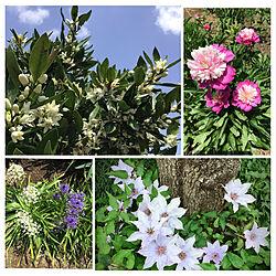 みかんの花/テッセン/花のある暮らし/芍薬/植物のある暮らし...などのインテリア実例 - 2021-05-11 20:58:44