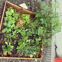 再生野菜/庭/ガーデニング/家庭菜園/ハーブ...などのインテリア実例 - 2020-05-24 13:22:27