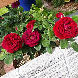 壁/天井/バラ/バラ初心者/薔薇/庭のある暮らし...などのインテリア実例 - 2019-05-20 14:32:35
