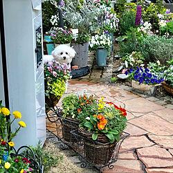 プードル/ビオラ/自由に寄せ植え/ちいさなお庭/小さな庭...などのインテリア実例 - 2019-03-30 22:56:50