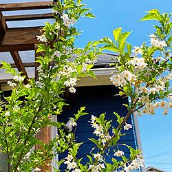 緑が気持ちいい季節/ちょっと花が散ってしまった^^;/ナチュラル/庭/玄関/入り口のインテリア実例 - 2020-05-24 10:37:29