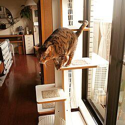 壁/天井/猫とインテリア/猫のいる日常/猫のいる風景/猫のいる生活...などのインテリア実例 - 2016-01-14 16:14:57