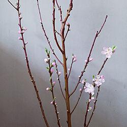 棚/枝物/桃の花/シンプルインテリア/シンプルデザイン...などのインテリア実例 - 2021-02-19 14:27:07