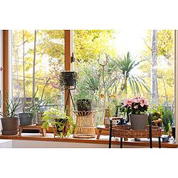 窓辺の風景/窓辺のグリーン/観葉植物のある暮らし/観葉植物/インテリアグリーン...などのインテリア実例 - 2020-12-18 16:34:56