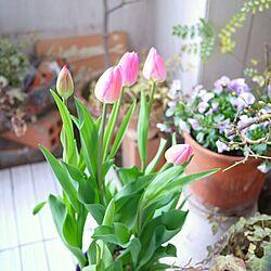 玄関/入り口/チューリップ/鉢植え/ベランダガーデン/ベランダのインテリア実例 - 2014-03-17 14:27:19