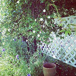 母の庭/木香薔薇/garden/ガーデン/庭のインテリア実例 - 2015-05-08 22:10:17