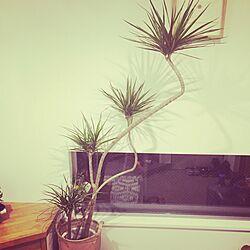 玄関/入り口/ホームセンターで購入/ドラセナコンシンネ/観葉植物のインテリア実例 - 2015-03-26 20:12:37