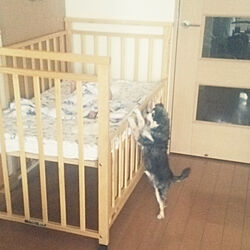 ベッド周り/犬のいる暮らし/グリーンのある暮らし/姫とチワワ/チワワ...などのインテリア実例 - 2017-07-30 21:04:07