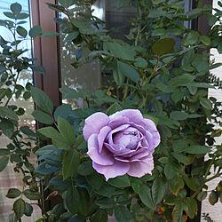 玄関/入り口/ベランダ/ノヴァーリス/青バラ/青ってか紫...などのインテリア実例 - 2018-11-04 22:01:23