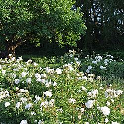 前庭/バラ園/ガーデン/GREENのある暮らし/花のある暮らし...などのインテリア実例 - 2020-05-28 21:18:34
