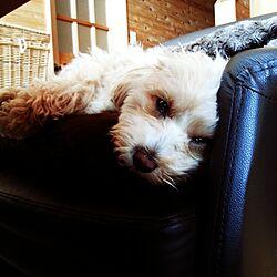 部屋全体/ペット/犬/犬ですみません/大人可愛い...などのインテリア実例 - 2014-12-08 20:31:00