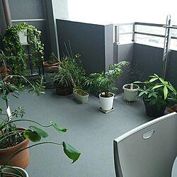 部屋全体/観葉植物/植物/植物のある暮らし/バルコニー...などのインテリア実例 - 2017-01-13 23:55:13