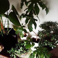棚/観葉植物たち/賃貸/観葉植物/引っ越し前...などのインテリア実例 - 2015-04-23 10:48:37