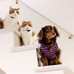 リビング/猫と犬のいる生活/チワックス/犬と猫との生活/犬と猫と暮らす...などのインテリア実例 - 2017-02-12 11:20:38