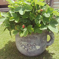 植木鉢/ワイルドストロベリーのインテリア実例 - 2018-05-27 10:26:21