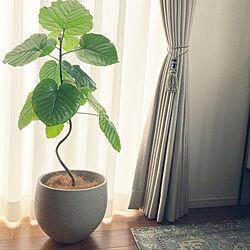 観葉植物に癒やされてます✮/観葉植物/ウンベラータのある暮らし/シンボルツリー/ウニコ...などのインテリア実例 - 2021-05-17 09:19:22