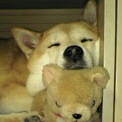 リビング/柴犬♡/柴犬は神/動物と暮らすのインテリア実例 - 2016-11-14 01:18:33