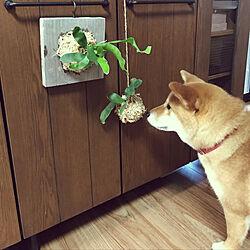 棚/観葉植物/DIY/インテリアグリーン/苔玉...などのインテリア実例 - 2018-06-29 22:07:14