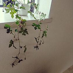 リビング/モニター応募投稿/野ぶどうの実/野ぶどう/観葉植物ではありませんよ。...などのインテリア実例 - 2020-09-16 12:16:32
