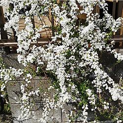花のある暮らし/ユキヤナギ/季節の花/季節を感じる暮らし/庭...などのインテリア実例 - 2020-03-19 09:05:59