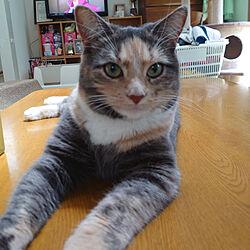 リビング/であいにかんしゃです♬/テーブル/猫/ねこ...などのインテリア実例 - 2020-06-05 10:31:38