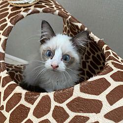 キリンの猫タワー/仕事部屋を猫シェルターにしてます/フォロー&いいね!ありがとうございます☆/white interior/Stay home !...などのインテリア実例 - 2021-08-02 20:28:56