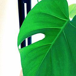 窓際/隣の部屋/植物/出窓/モンステラのインテリア実例 - 2013-08-05 13:30:23